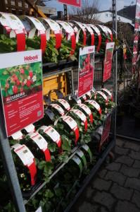 Grosse Sortenauswahl bei der Blumeninsel Huttwil AG