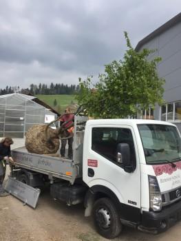 Direkt ab Baumschule wird der Baum an seinen neuen Standort transportiert