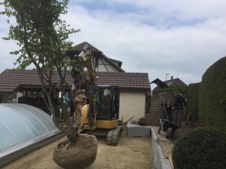Mit grösster Vorsicht und mit Hilfe schwerer Maschinen wird der Baum in das ausgehobene Pflanzloch gesetzt.